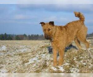 Small #2 Breed Irish Terrier image