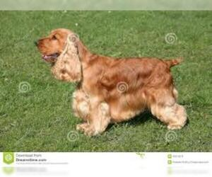 Small #8 Breed Cocker Spaniel image
