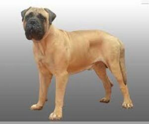 Small #4 Breed Bullmastiff image
