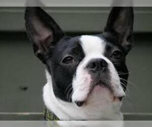 Small #6 Breed Boston Terrier image