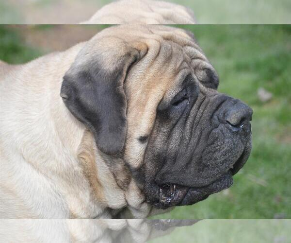Mastiff Puppies For Sale Near Las Vegas Nevada Usa Page 1 10 Per