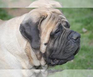 Small Photo #1 Mastiff Dog Breed