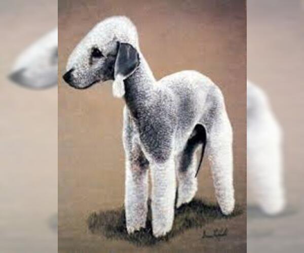 Medium Photo #6 Bedlington Terrier Dog Breed