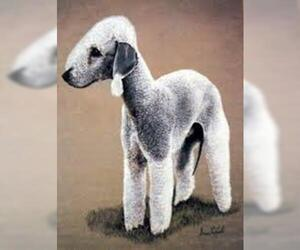 Small Photo #6 Bedlington Terrier Dog Breed