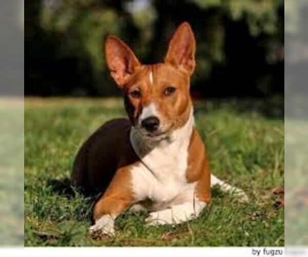 Medium Photo #7 Basenji Dog Breed