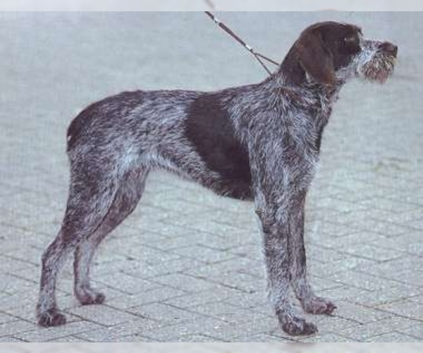 Image of Bohemian Wire-haired Pointing Griffon Breed