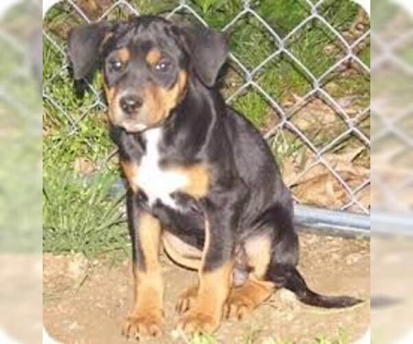 Medium Photo #5 Black and Tan Coonhound Dog Breed