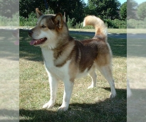 Image of Greenland Dog Breed