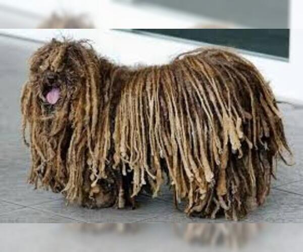 Medium Photo #2 Komondor Dog Breed