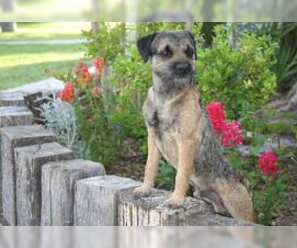 Medium Photo #2 Border Terrier Dog Breed