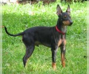 Manchester Terrier (Standard)