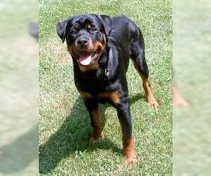 Small #4 Breed Rottweiler image