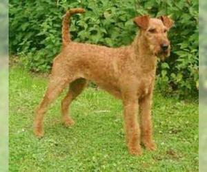 Small #6 Breed Irish Terrier image