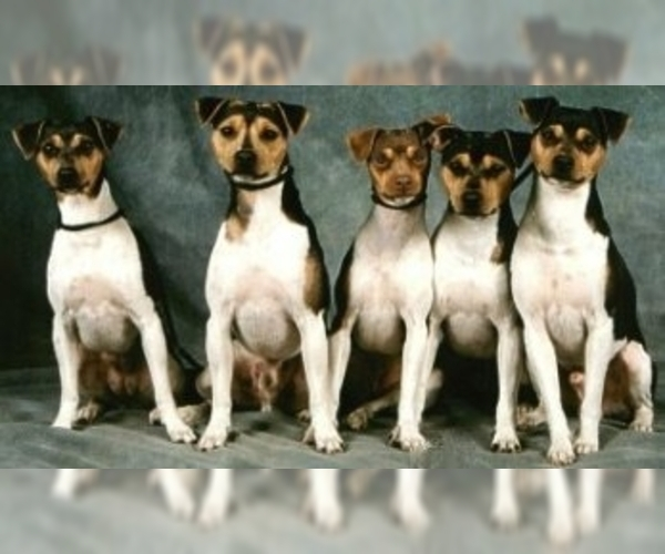 Image of Brazilian Terrier Breed