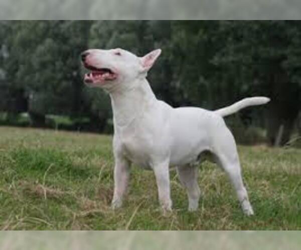 Medium Photo #2 Miniature Bull Terrier Dog Breed