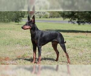 Small #2 Breed Manchester Terrier (Standard) image