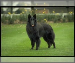 Samll image of Belgian Sheepdog