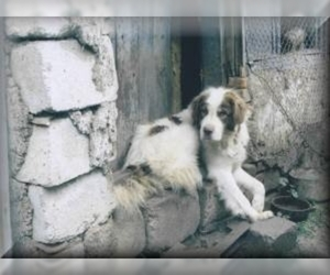 Image of Karakachan breed
