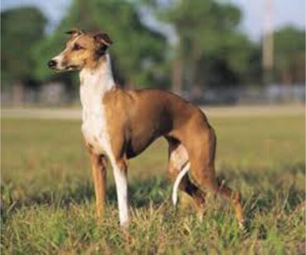 Medium Photo #2 Greyhound Dog Breed