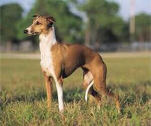 Small Photo #2 Greyhound Dog Breed