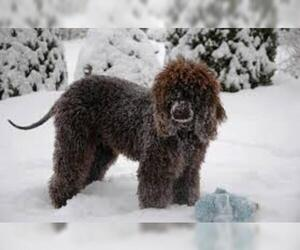Small #5 Breed Irish Water Spaniel image