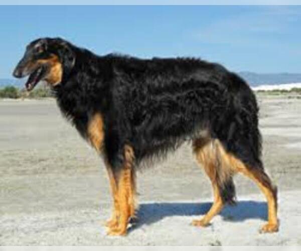Medium Photo #5 Borzoi Dog Breed
