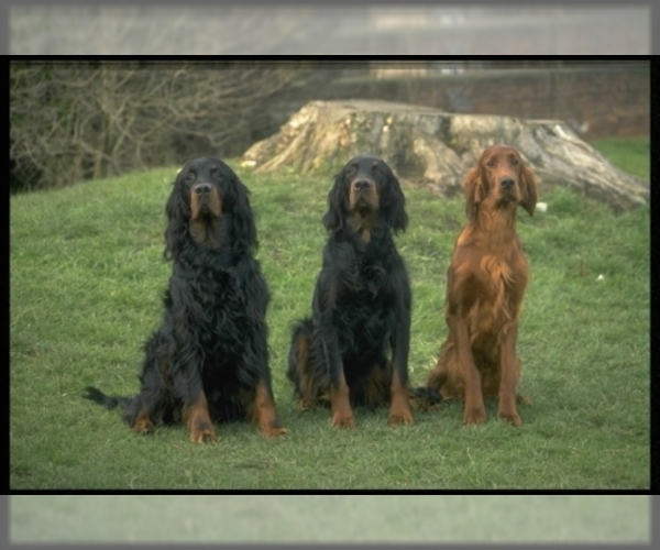Image of Gordon Setter Breed