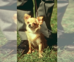 Small #1 Breed Chihuahua image