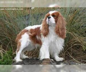Small #5 Breed Cavalier King Charles Spaniel image