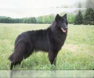 Small #4 Breed Belgian Sheepdog image