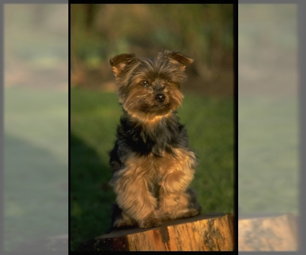 Image of Yorkshire Terrier Breed