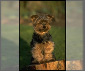 Image of breed Yorkshire Terrier