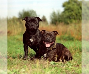Small Photo #1 Staffordshire Bull Terrier Dog Breed