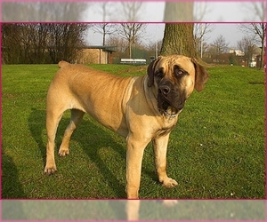 Image of Boerboel breed