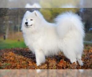 Small #6 Breed Samoyed image