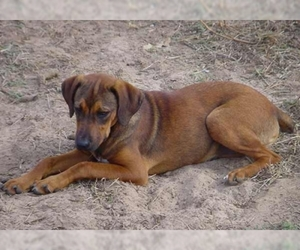 Image of breed Mountain Cur
