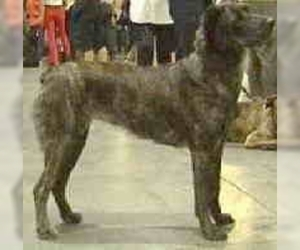 Image of Azores Cattle Dog breed