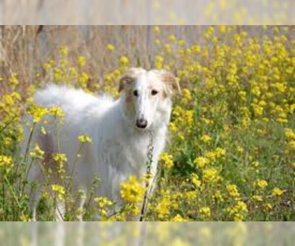 Medium Photo #7 Borzoi Dog Breed