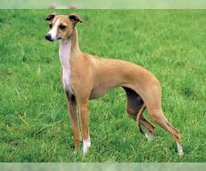 Small #3 Breed Whippet image