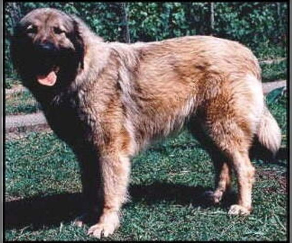 Image of Sarplaninac (Illyrian Sheepdog ) Breed
