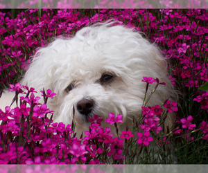 Small #10 Breed Havanese image