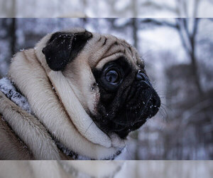 Small Photo #7 Pug Dog Breed