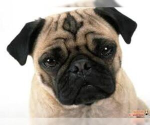 Small Photo #1 Pug Dog Breed