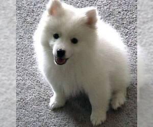 American Eskimo Dog (Toy)