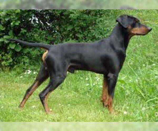 Medium Photo #7 German Pinscher Dog Breed