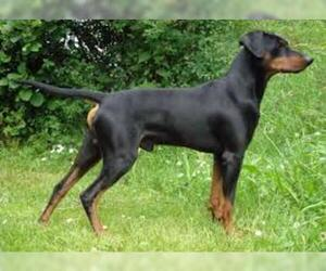 Small #6 Breed German Pinscher image