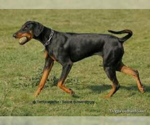 Small #4 Breed Doberman Pinscher image