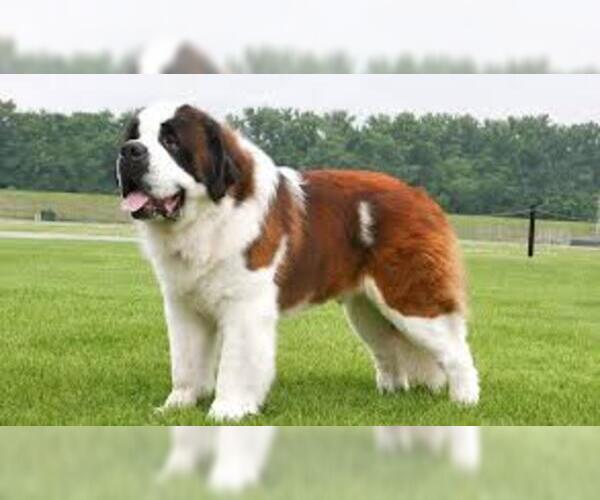 Medium Photo #8 Saint Bernard Dog Breed