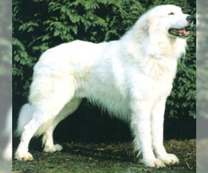 Image of Akbash Dog breed