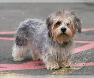 Small Photo #5 Dandie Dinmont Terrier Dog Breed